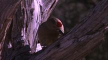 Gila Woodpecker Eats Out Of Tree Hole