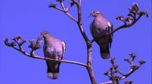 White-Winged Doves In Tree Branches