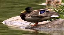 Mallard Preens At Edge Of Pond