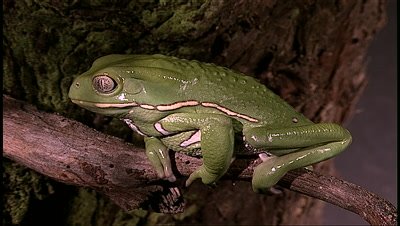 pan to reveal Green Frog