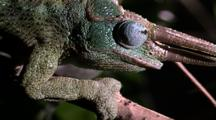 Three Horned Chameleon Head
