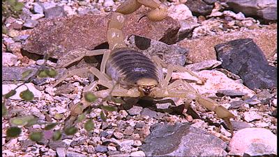 Scorpion On Gravel