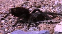 Tarantula Crawling Over Gravel