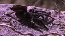 Tarantula On Rock