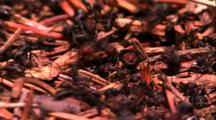 Ants On Pine Needles