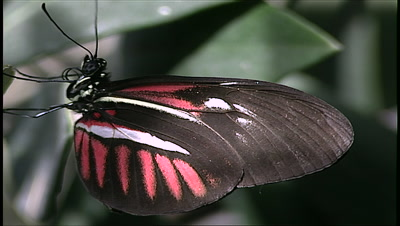 poan to reveal Butterfly On Leaf