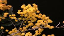 Flowers - Yellow Puff Ball Buds