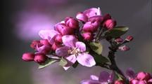 Pink Blossums Of Fruit Tree (Apple Or Plum)
