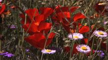 Zoom In To Field Of Red Poppies With Purple And White Daisy Type Wildflowers