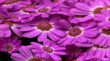 Pan Right To Purple Daisy Flowers