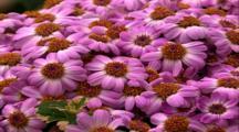 Zoom Into Purple Daisy Flowers