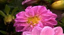 Pan Right, Multi Petal Pink Flower (Dahlia)