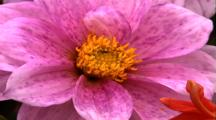 Close Up, Pink Spotted Flower