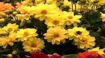 Yellow Garden Flowers With Bee Gathering Pollen