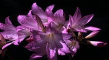 Purple Lilly Type Flower Clump