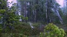 Rain And Snow Blowing Away From Camera, Bushes And Pine Trees
