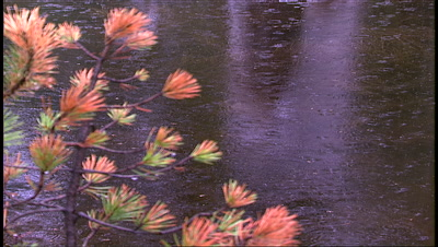 Rain On Pond, Small Red And Green Pine Branch Foreground