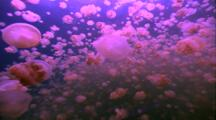 Jellyfish Drifters - Swarm In Jellyfish Lake
