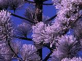 Winter Scenics - Snow Fringed Spruce Pine Tree