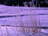 Winter Scenics - Zoom In On Frosty Tall Dry Grasses