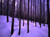 Winter Scenics - Burned Pine Forest In Snow