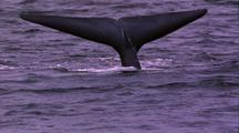 Blue Whale Dives, Fluke