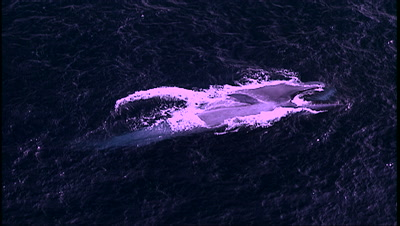 Blue Whale At Surface Feeding On Krill