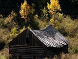 Homestead Cabin, Autumn Aspen Trees