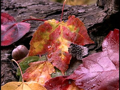 Wet Autumn Maple Leaf