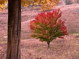 Autumn Maple Tree And Leaves