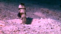 Blue Striped Goby In Burrow