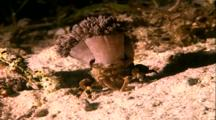 Decorator Anemone Crab