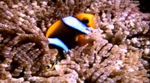 Adult And Juvenile Clownfish In Anemone