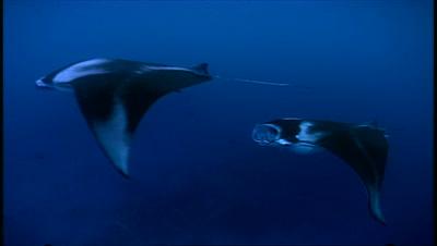 Manta Ray Feeding On Plankton