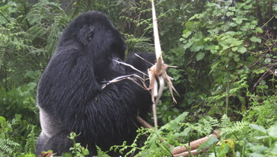 Mountain Gorilla (Gorilla beringei beringei) Silverback peeling off and eating Bamboo shoot