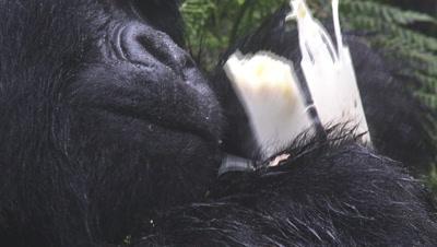 Mountain gorilla (Gorilla beringei beringei) Silverback eating Bamboo,close-up. In Volcanoes N.P. Rwanda.