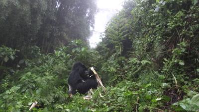 Mountain Gorilla (Gorilla beringei beringei) Silverback eating Bamboo,Volcanoes N.P. Rwanda.
