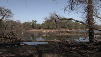 Sambar Deer (Cervus unicolor) herd walking and drinking in a Pond