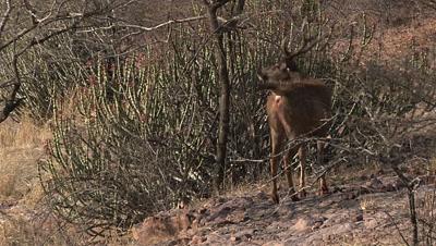 Sambar Deer (Cervus unicolor) male,giving Alarm call,by spotting a Tiger.