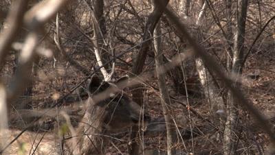 Sambar Deer (Cervus unicolor) Male in Dry Forest,listening for upcoming Danger.