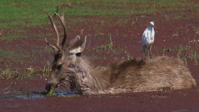 Sambar Deer (Cervus unicolor) Male,foraging in a Duckweed covered Pond,with a white Egret on his back.