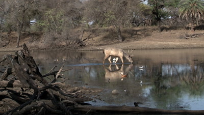 Sambar Deer (Cervus unicolor) Male walking and drinking in a Pond