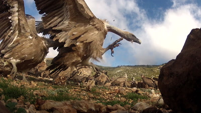 Griffon Vultures (Gyps fulvus) fighting on the ground,rolling towards camera