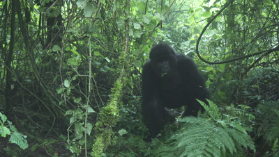 Mountain gorilla from Hirwa group relaxed eating leaves. After seeing camera,displaying by beating chest.