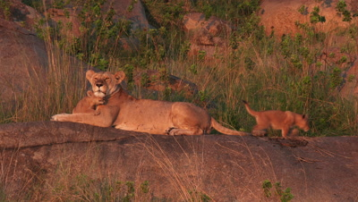 Lioness with cubs on Koppie,covered with trees and shrubs,with small cubs walking around,one cub nuzzle up against mum