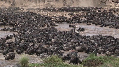Wildebeests ( Connochaetes taurinus ) crossing the Mara River on their annual Migration.