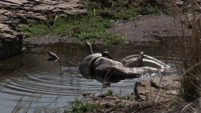 Indian Python (Python molurus) strangling and swallowing a just killed Spotted deer,while laying in a smal pond.