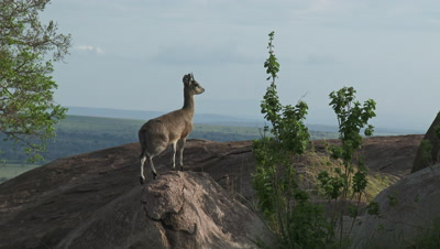 Klipspringer (Oreotragus oreotragus) standing on Koppies overlooking the plains of the Serengeti