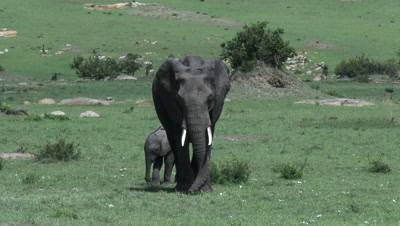 African Elephant (Loxodonta africana) with young kicking out new grown acacia to eat