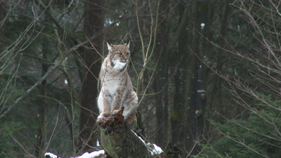 Eurasian lynx (lynx lynx) in winter forest on uprooted tree,while raining and hard wind blowing